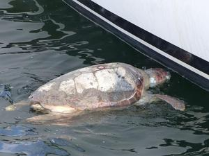 A dead turtle with fishing line around it's neck floats next to Gaia