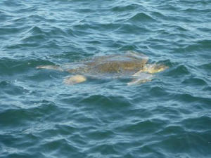 A turtle swimming